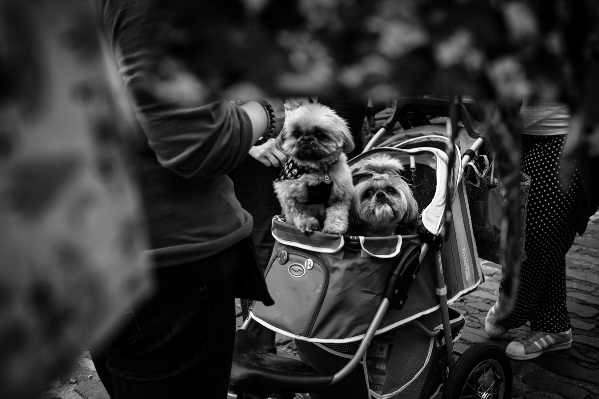 black and white photograph of small dogs in a pram in faversham in kent
