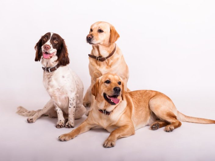 Dog portrait photography in Kent. Two labradors and a spaniel sitting