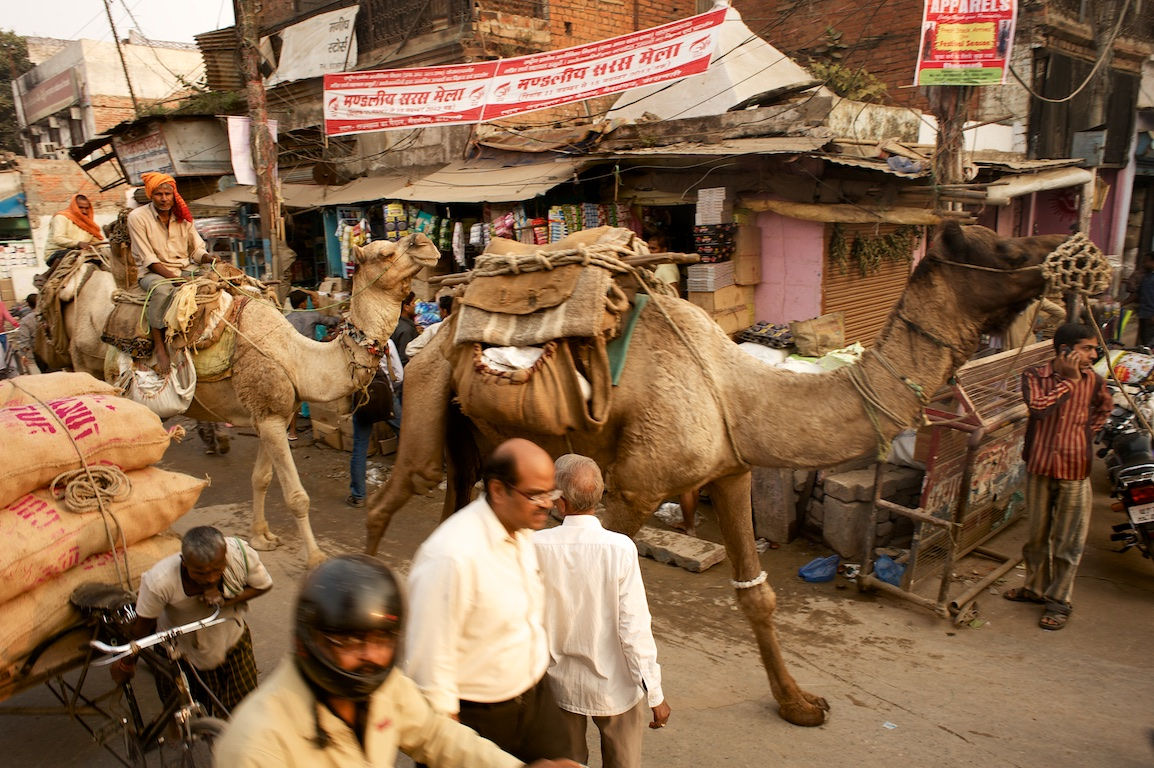 photographs of camels in streets of varanasi