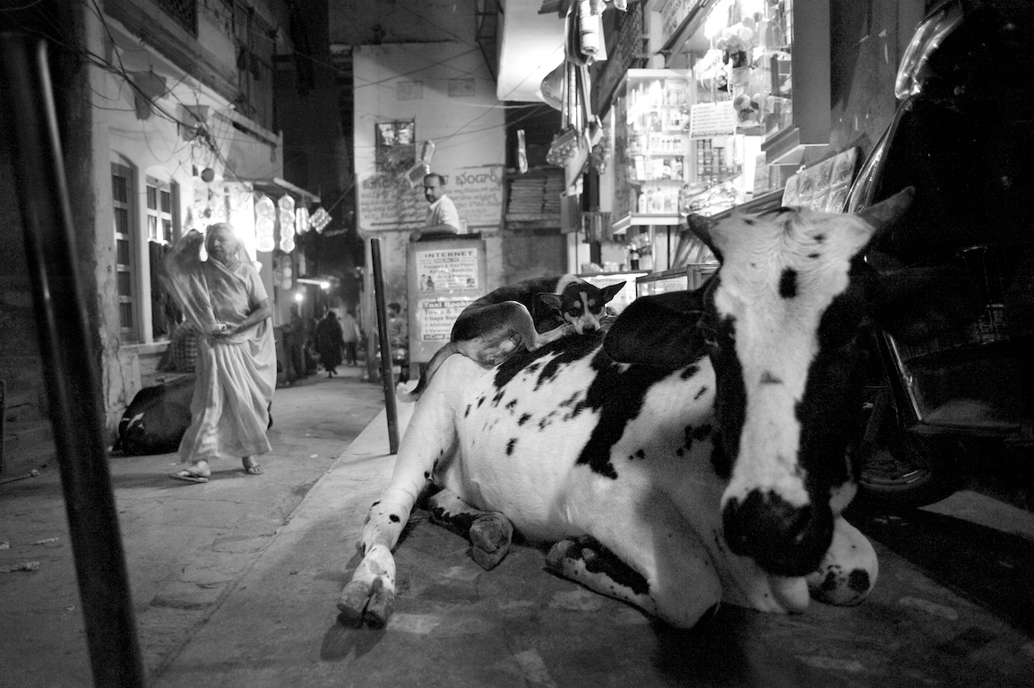 photograph of dog sitting on cows back in India