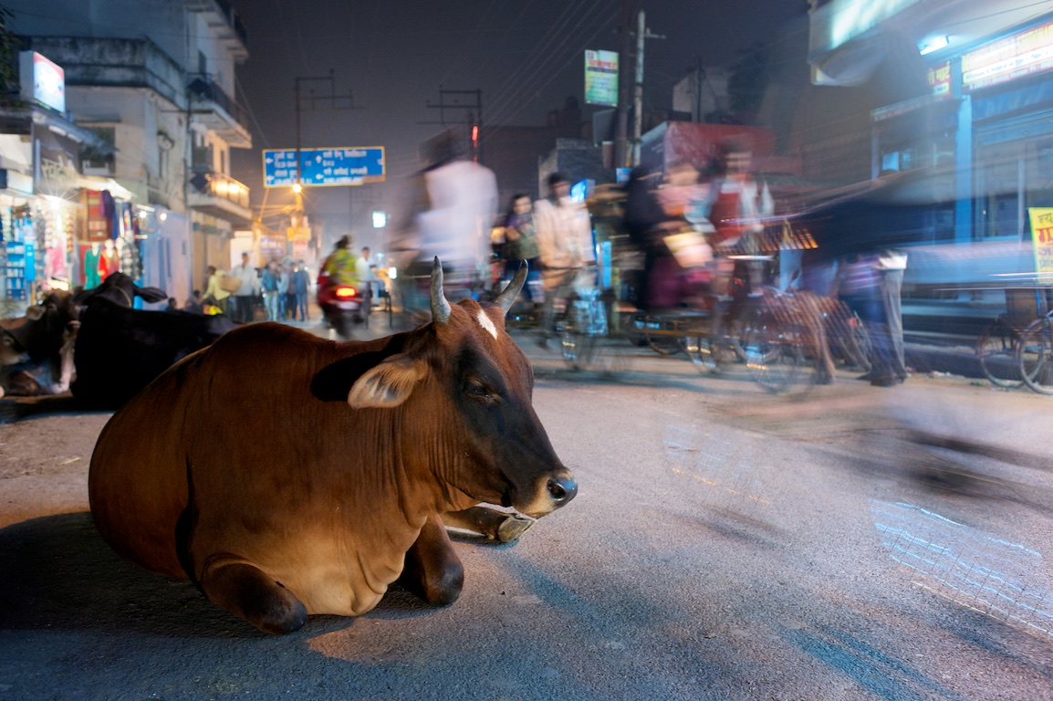Cow sits among traffic in Varanasi in India