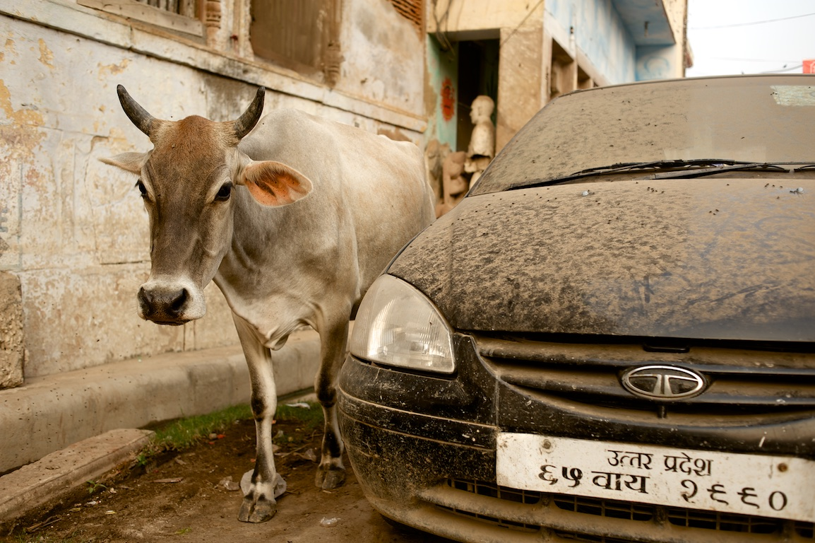 Photograph of cow and vehicle in varanasi