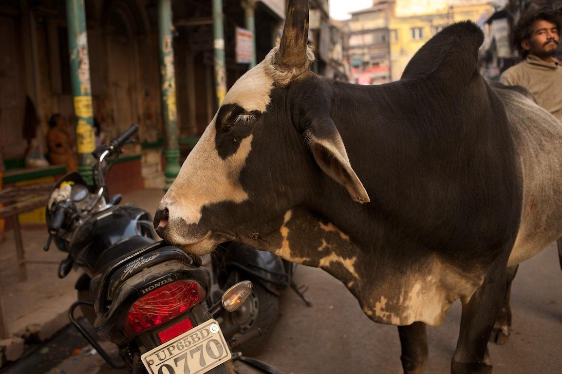 bull stands by motorbike in varanasi