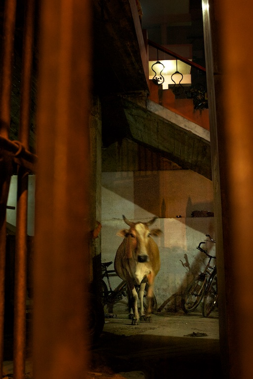 Cow looks out from inside building in varanasi