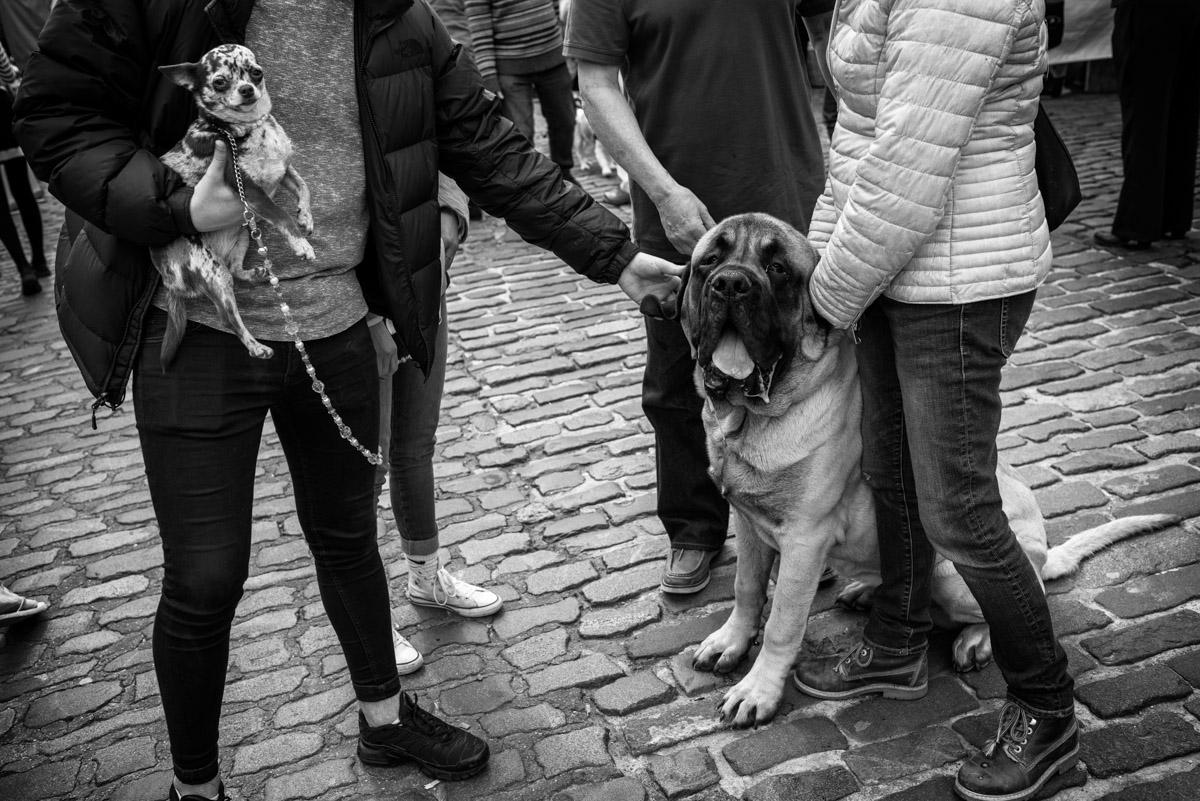 Documentary photograph, faversham dog show, English Mastiff, kent