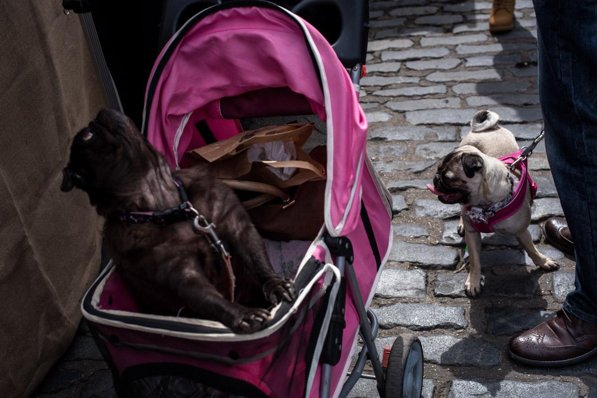 faversham dog show street photography, Kent, Pugs