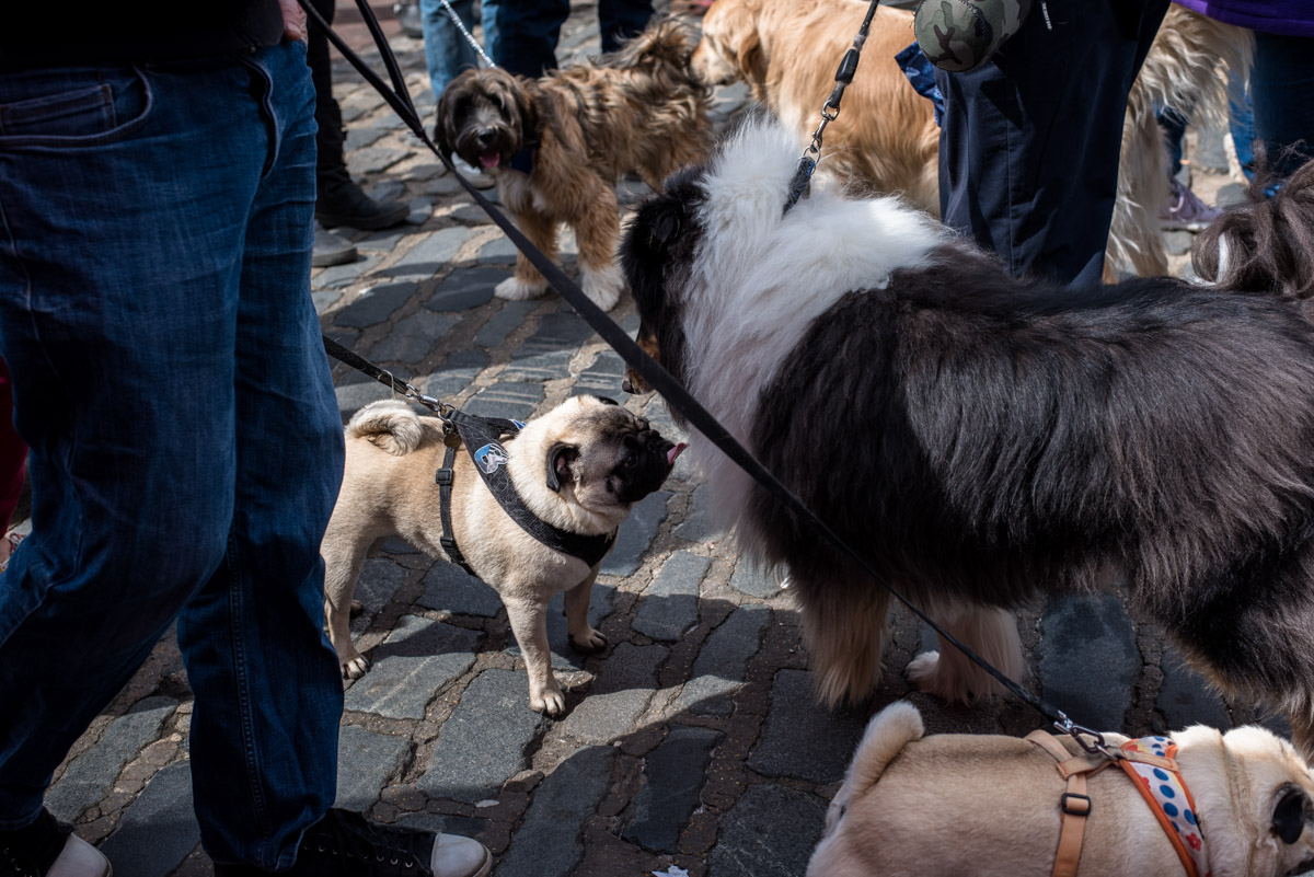 photograph of pug at faversham dog show in kent