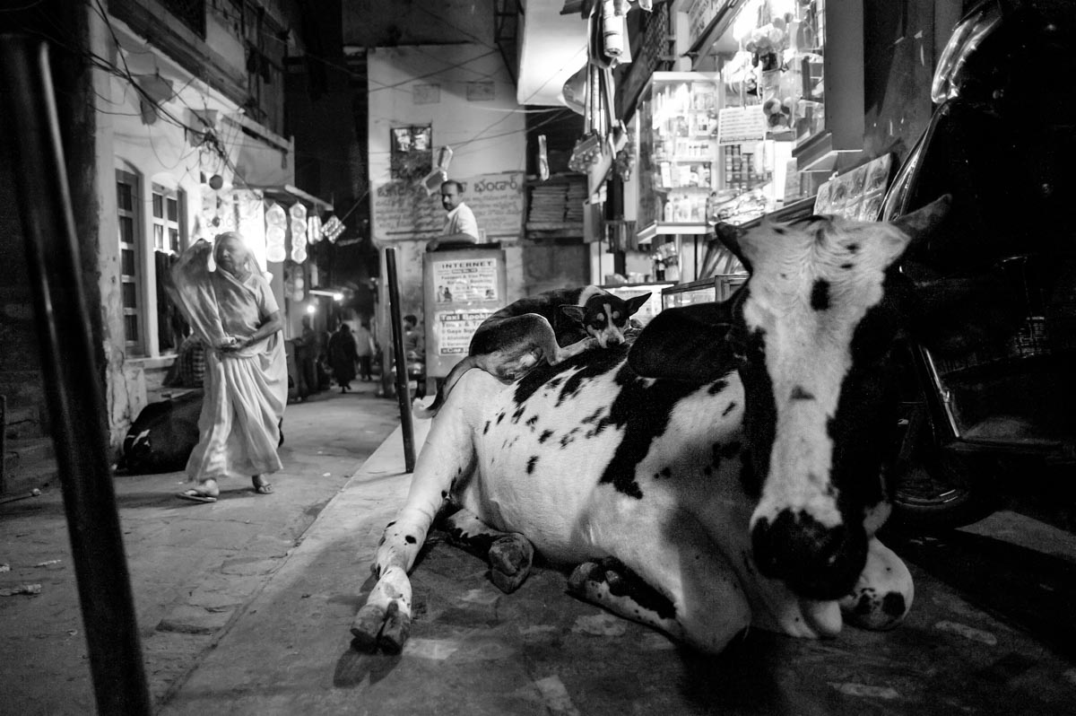 Dog asleep on cow, photograph from Varanasi, India